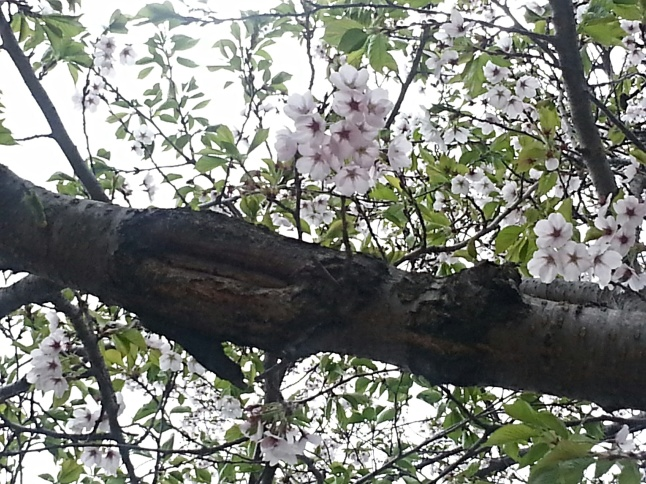The famous Japanese Cherry Blossoms that return every Spring at High Park